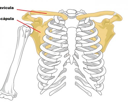 Cintura Escapular fortalecer la espalda - Pilates Las Rozas Rehabtiva